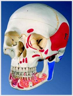Dentazione